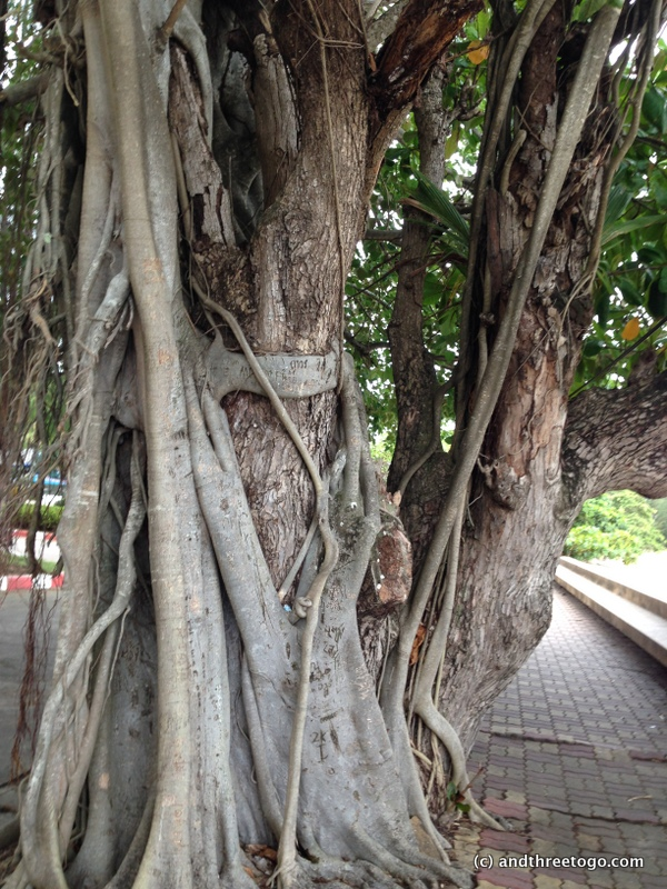I thought the way this Banyan tree was wrapping around the other tree was beautiful.